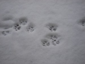 Dusty's paw marks in the snow © Paul White 2009