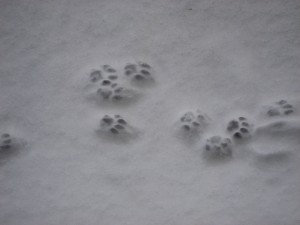 Dusty's paw marks in the snow - © Paul White 2010