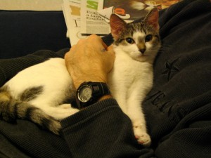 Bobby as a kitten being cuddly - copyright Helen White