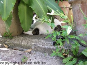 Our Bobby keeping cool in between plant pots in our garden. - Copyright Helen White